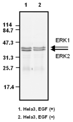 Western blot detected with Anti-Human ERK (Clone 5) Mouse IgG MoAb